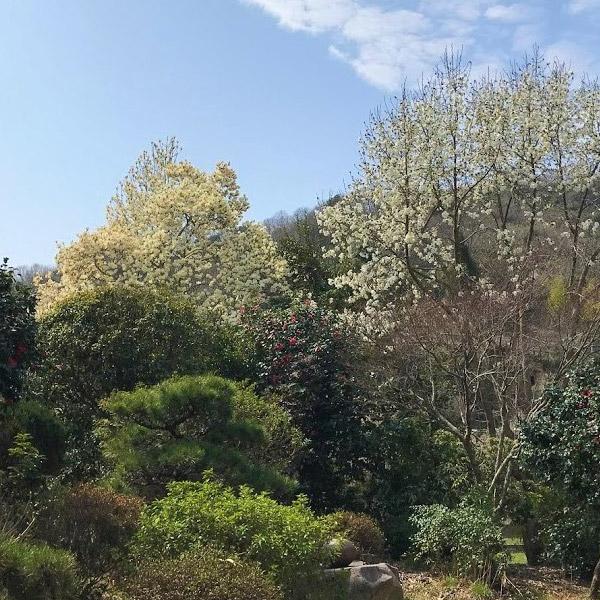 3月の白い花「白蓮」と「辛夷」